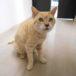茶トラのメスの迷い猫を保護しています!