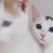 オッドアイの美猫ちゃんと、茶白の猫ちゃん 里親募集中