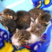 4月7日ごろ生まれ、小さな赤ちゃん猫の里親募集中